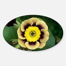 Alpine auricula 'Sirius' flower - Decal