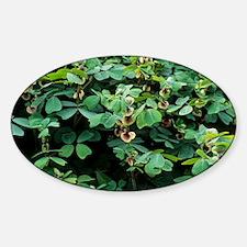 Amicia (Amicia zygomeris) - Sticker (Oval)