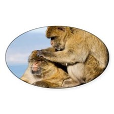 Barbary macaques - Decal