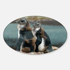 African penguin chicks moulting - Decal