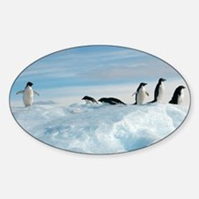 Adelie penguins - Sticker (Oval)
