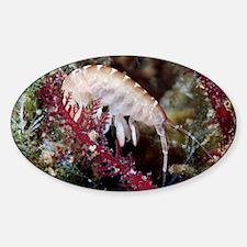 Amphipod crustacean - Sticker (Oval)