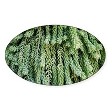 Burro's tail foliage - Decal