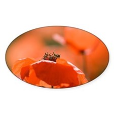 Common poppies (Papaver rhoeas) - Decal