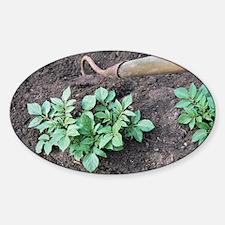 Earthing-up organic potatoes - Decal