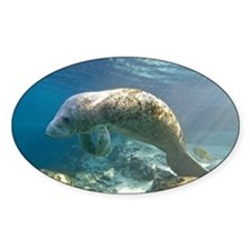 Florida manatee swimming - Decal