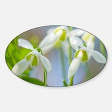 Galanthus nivalis (Snowdrops) - Sticker (Oval)