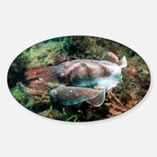 Giant cuttlefish male and female - Decal