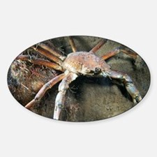 Great spider crab - Decal