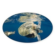 Green turtles mating - Decal