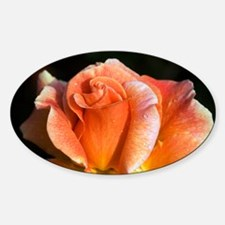 Hybrid tea rose (Rosa 'Can-Can') - Sticker (Oval)