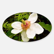 Magnolia x wiesneri - Decal