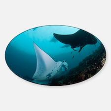 Manta rays - Sticker (Oval)