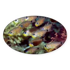 Orange-lined cardinalfish - Decal