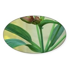 Peruvian Lily leaves - Decal