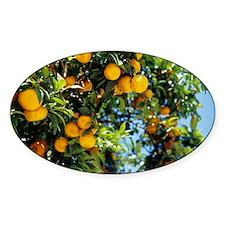 Oranges - Decal