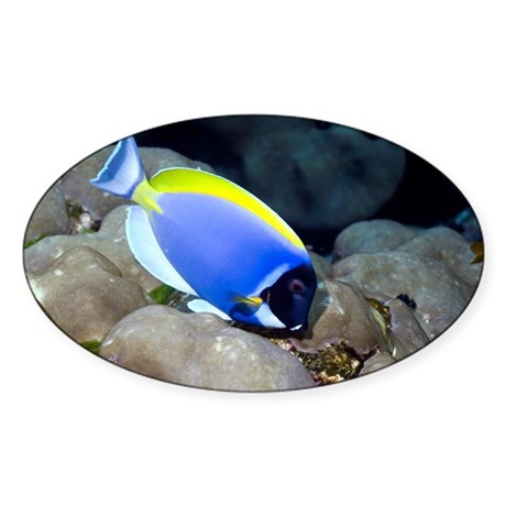 Powder-blue tang - Sticker (Oval) by sciencephotos