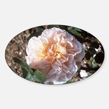 Rose (Rosa 'Evelyn') - Decal