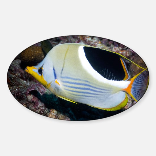 Saddled butterflyfish on a reef - Sticker (Oval)