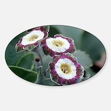 Show auricula 'Astolat' flowers - Decal