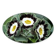 Show auricula 'Marmion' flowers - Decal