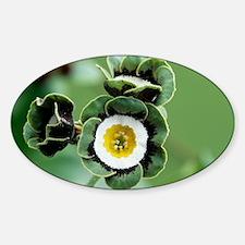 Show auricula 'Orb' flowers - Decal