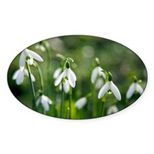 Snowdrop (Galanthus nivalis) - Decal