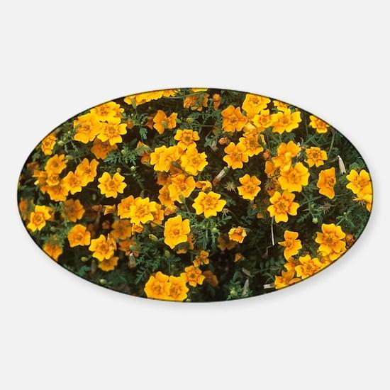 Tagetes tenuifolia 'Starfire' - Sticker (Oval)