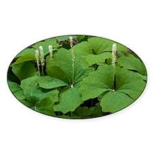 Vanilla leaf (Achlys triphylla) - Decal