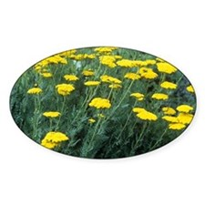 Yarrow (Achillea 'Moonshine') - Decal