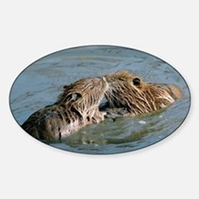 Young coypus playing - Decal