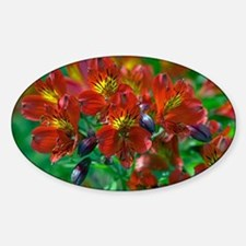 Alstroemeria 'Red Beauty' - Decal