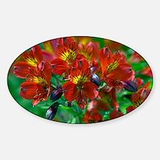 Alstroemeria 'Red Beauty' - Sticker (Oval)