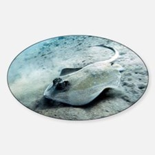 Bluespotted stingray - Decal