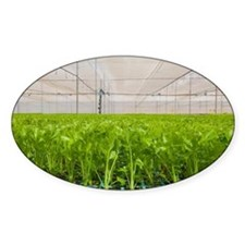Celery in a greenhouse - Decal