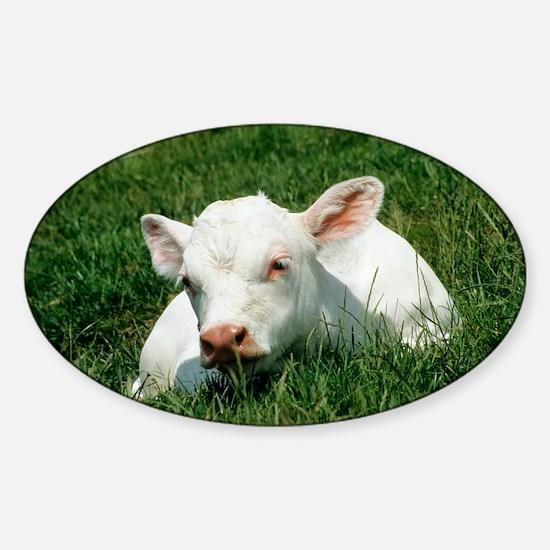 Charolais calf - Sticker (Oval)