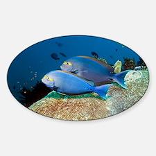 Elongate surgeonfish - Decal