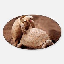 Greek tortoises mating - Decal