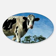 Heifer cow - Decal