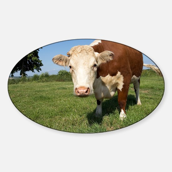 Hereford cow - Sticker (Oval)