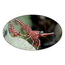 Hingebeak shrimp on a reef - Decal