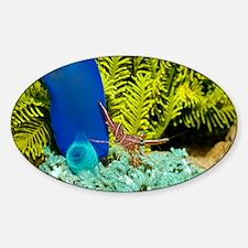 Hingebeak shrimp on a seasquirt - Decal