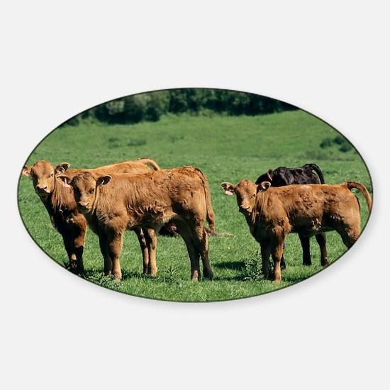 Limousin calves - Sticker (Oval)