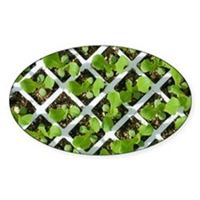 Lettuce crop - Decal