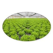 Lettuce in a greenhouse - Decal