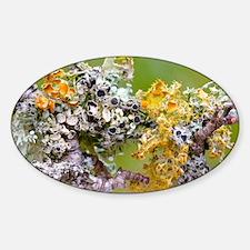 Lichens on Blackthorn - Sticker (Oval)