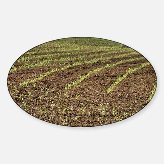 Maize seedlings - Sticker (Oval)