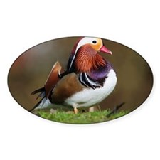 Male mandarin duck - Decal