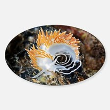 Nudibranch laying eggs - Sticker (Oval)