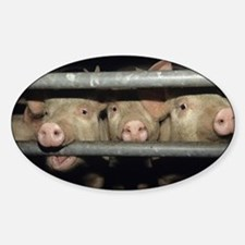 Pigs - Sticker (Oval)